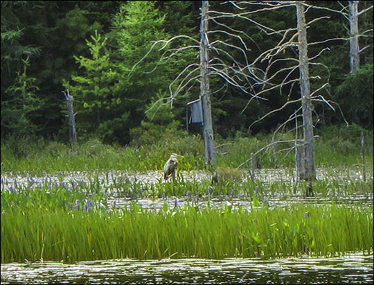 Birds of the Adirondacks: Great Blue Heron on Heron Marsh (19 July 2012)