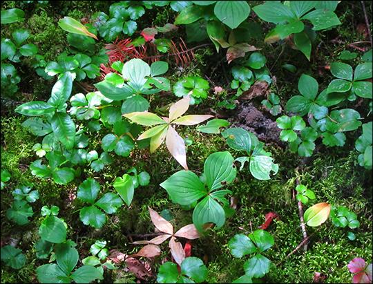 Adirondack Habitats: Starflower, Bunchberry, and Goldthread (1 September 2012)