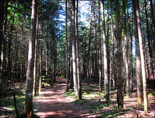 Adirondack Habitats: Conifer forest on the Boreal Life Trail (7 July 2012)