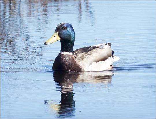 Birds of the Adirondacks: Mallard on Barnum Brook near the boardwalk (4 May 2013)