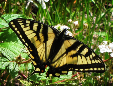 Adirondack Butterflies:  Canadian Tiger Swallowtail (9 June 2012)