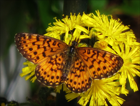 Adirondack Butterflies:  Silver-bordered Fritillary (16 June 2012)