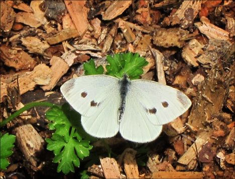 Adirondack Butterflies:  Cabbage White (16 June 2012)