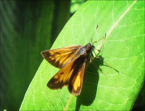 Paul Smiths Native-species Butterfly House:  Skipper (9 June 2012)