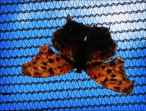 Paul Smiths Native-species Butterfly House:  Question Mark (13 June 2012)