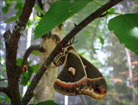 Adirondack Moths:  Cecropia Moth (16 June 2012)