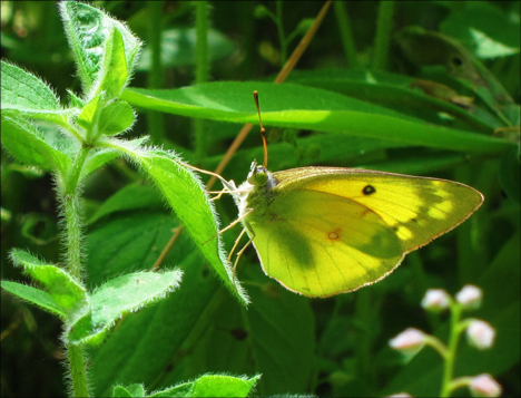 Adirondack Butterflies:  Clouded Sulphur (16 June 2012)