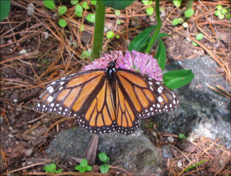 Adirondack Butterflies:  Monarch Butterfly (16 June 2012)