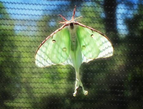 Adirondack Moths:  Luna Moth (30 June 2012)