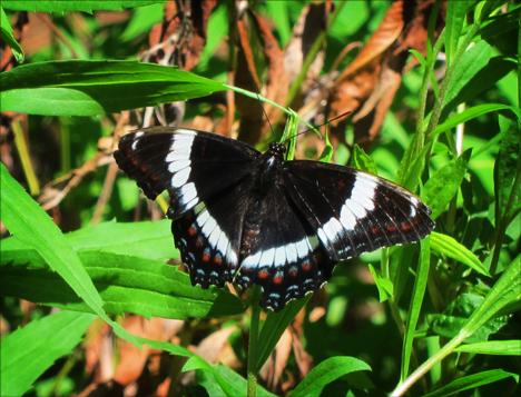 Adirondack Butterflies:   White Admiral (28 June 2012)