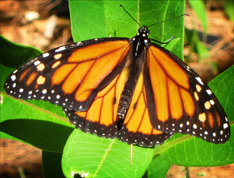 Adirondack Butterflies:  Monarch Butterfly (30 June 2012)