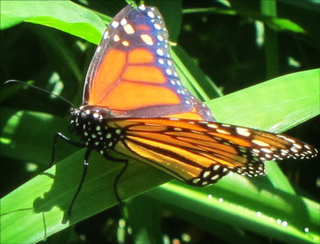 Adirondack Butterflies:   Monarch Butterfly (10 July 2012)