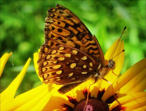 Adirondack Butterflies:  Aphrodite Fritillary (12 July 2012