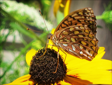 Adirondack Butterflies:  Atlantis Fritillary (30 July 2012)
