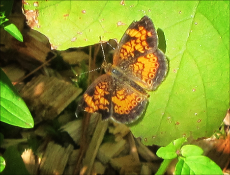 Adirondack Butterflies:  Pearl Crescent (30 July 2012
