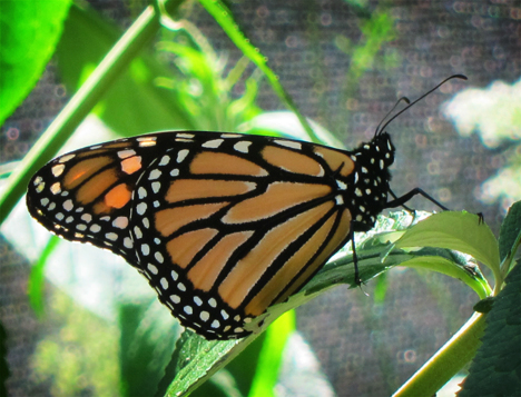 Adirondack Butterflies:  Monarch Butterfly (30 July 2012)