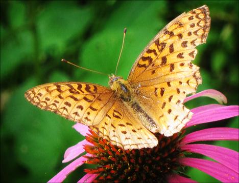 Adirondack Butterflies:  Atlantis Fritillary (8 August 2012)
