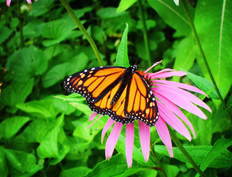Adirondack Butterflies:  Monarch Butterfly (8 August 2012)