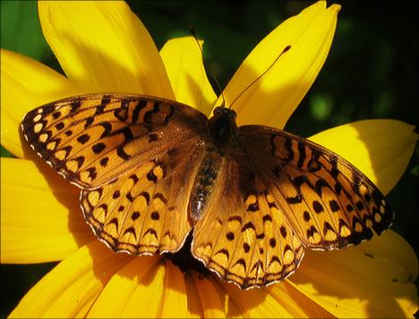 Adirondack Butterflies:  Atlantis Fritillary (18 July 2012)
