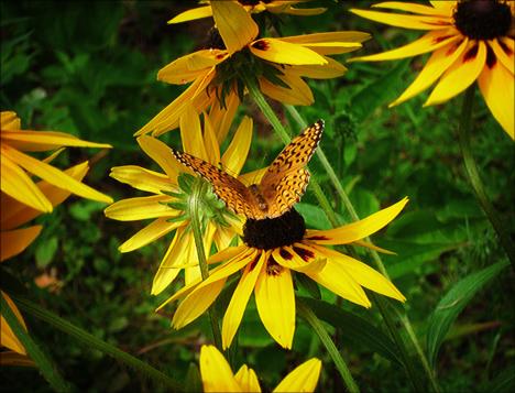 Adirondack Butterflies:  Atlantis Fritillary (19 July 2012)