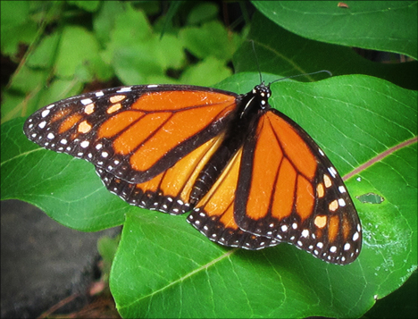 Adirondack Butterflies:  Monarch Butterfly (18 July 2012)
