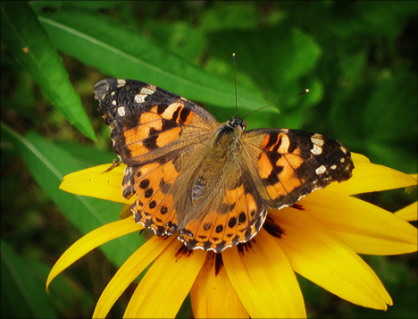 Adirondack Butterflies:  Painted Lady (18 July 2012)