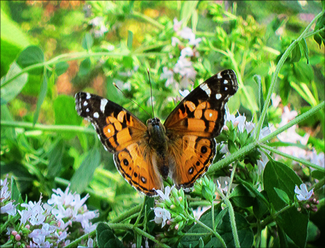 Adirondack Butterflies:  American Lady (4 August 2012)