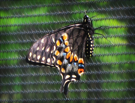 Adirondack Butterflies:  Black Swallowtail (4 August 2012)