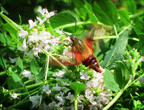 Adirondack Moths:  Hummingbird Moth (4 August 2012)
