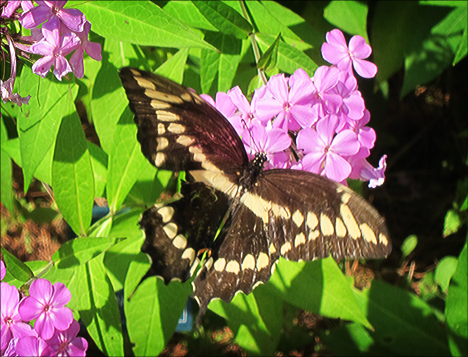 Adirondack Butterflies:  Giant Swallowtail (4 August 2012)