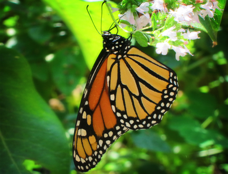 Adirondack Butterflies:  Monarch Butterfly (25 August 2012)