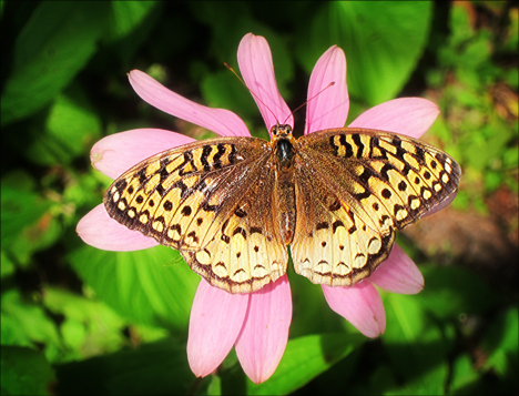 Adirondack Butterflies:  Great Spangled Fritillary (25 August 2012)