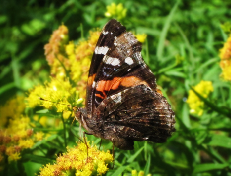 Adirondack Butterflies:  Red Admiral Butterfly (25 August 2012)