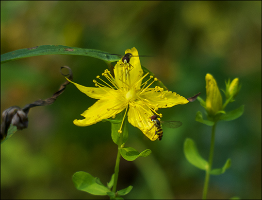 Adirondack Wildflowers:  St. John's Wort on the Easy Street Trail (19 August 2013)