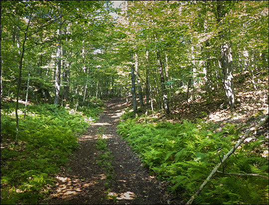 Adirondack Habitats: Ferns in deciduous forest on the Easy Street Trail (19 August 2013)