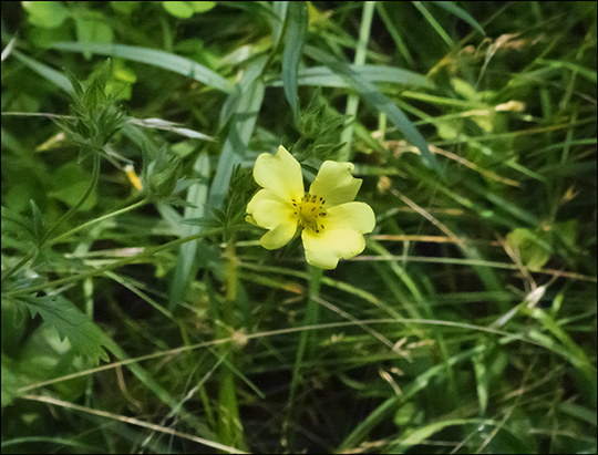 Adirondack Wildflowers:  Cinquefoil in a clearing on the Easy Street Trail (16 August 2013)