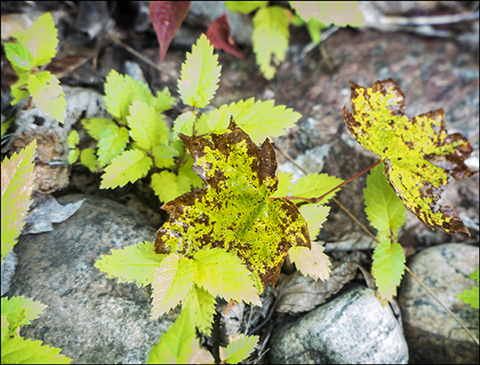 Maple leaves on the Esker Trail (21 August 2013)