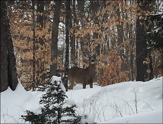 Adirondack Wildlife: White-tailed Deer on the Fox Run Trail. Photo by Sandra Hildreth. Used by permission.