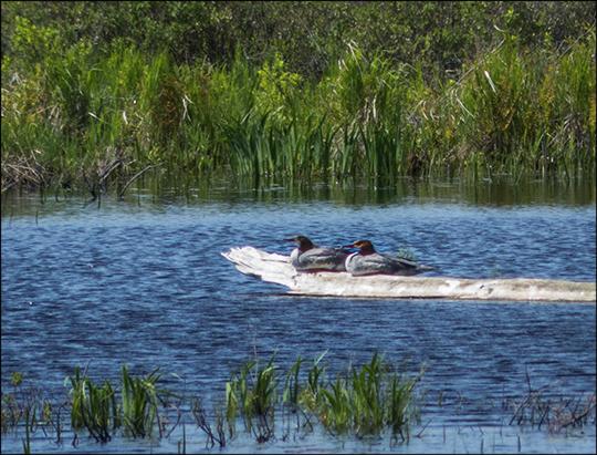 Birds of the Adirondacks:  Common Merganser on Heron Marsh (1 June 2013)