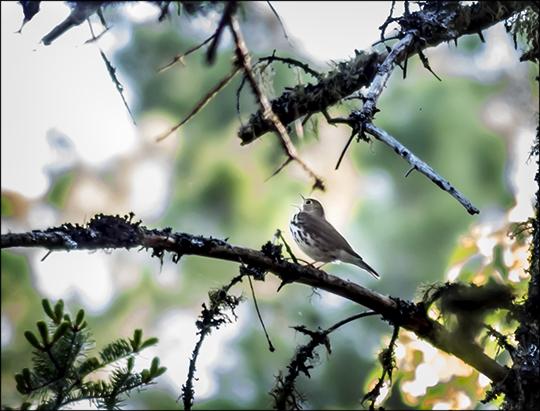 Birds of the Adirondacks: Ovenbird singing near the VIC parking lot (1 June 2013)