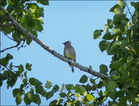 Birds of the Adirondacks:  Cedar Waxwing near the VIC parking lot (1 June 2013)