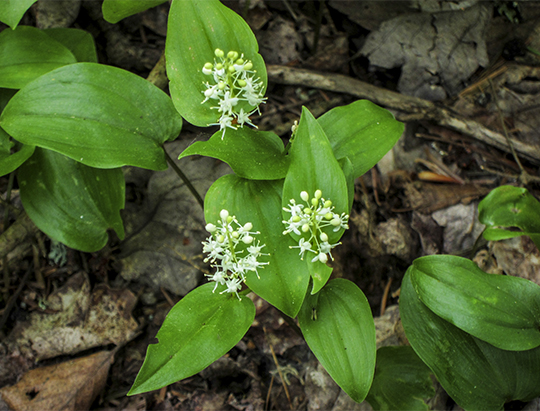 Adirondack Wildflowers: Canada Mayflower on the Barnum Brook Trail (1 June 2013)