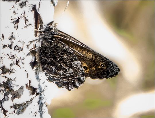 Butterflies of the Adirondacks:  Arctic Jutta on Barnum Bog (1 June 2013)