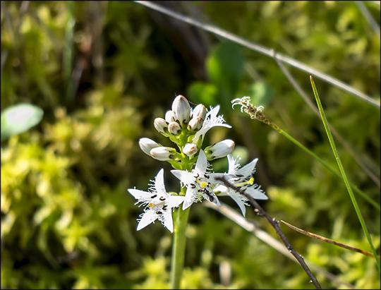 Adirondack Wildflowers: Buckbean on Barnum Bog (1 June 2013)