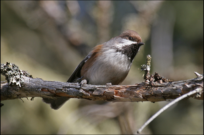 Birds of the Adirondacks: Boreal Chickadee.  Lake Clear, New York. Photo by Larry Master. www.masterimages.org