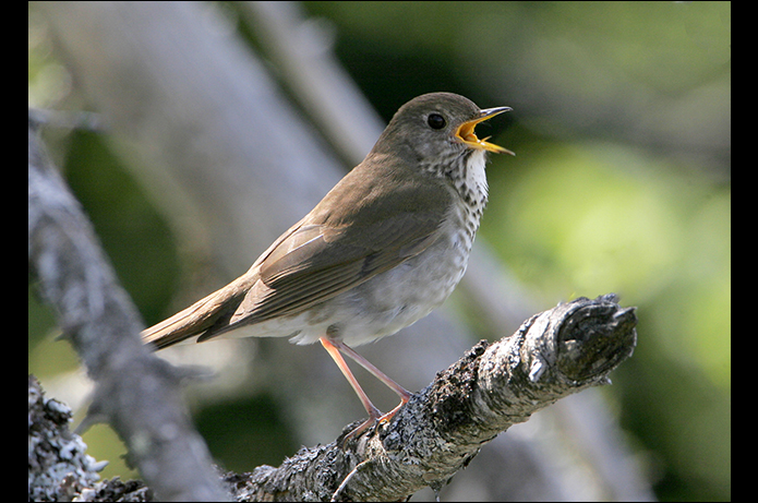 Birds of the Adirondacks: Bicknell's Thrush. Whiteface Mountain Toll Road, Wilmington, NY. Photo by Larry Master. www.masterimages.org