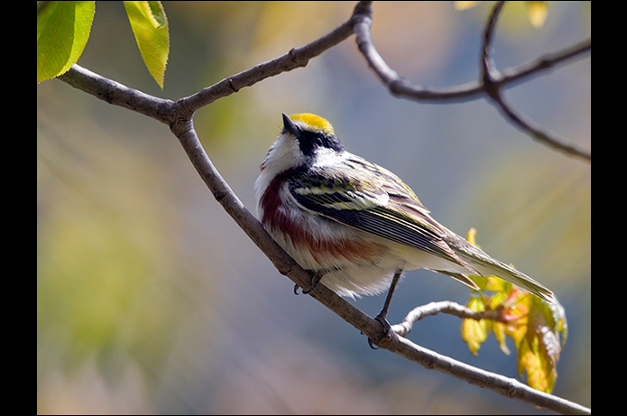 Birds of the Adirondacks: Chestnut-sided Warbler. Photo by Larry Master. www.masterimages.org