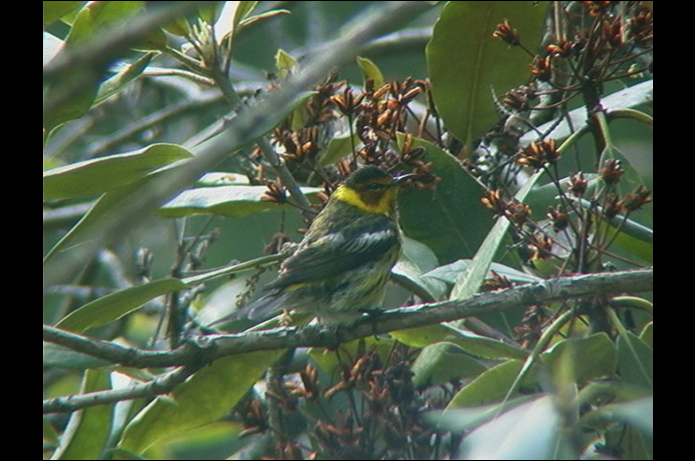 Birds of the Adirondacks: Cape May Warbler. Photo by Larry Master. www.masterimages.org