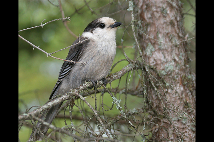 Birds of the Adirondacks: Gray Jay. Bloomingdale, NY. Photo by Larry Master. www.masterimages.org
