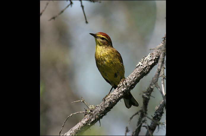 Birds of the Adirondacks: Palm Warbler. Paul Smiths, NY. Photo by Larry Master. www.masterimages.org